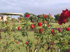 Elizabeth Park Rose Gardens - Yamba Accommodation